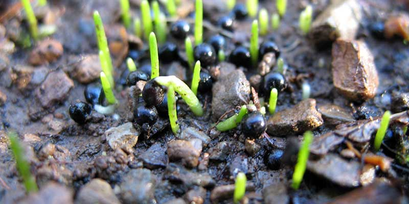 Germinating Wildwood Bluebells