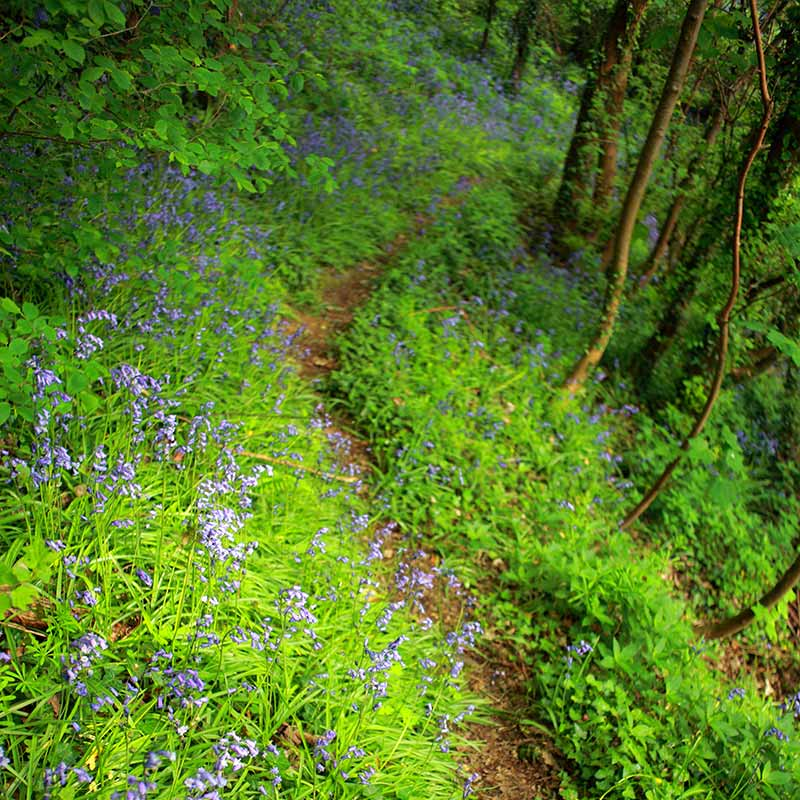 Path through the bluebell wildwood