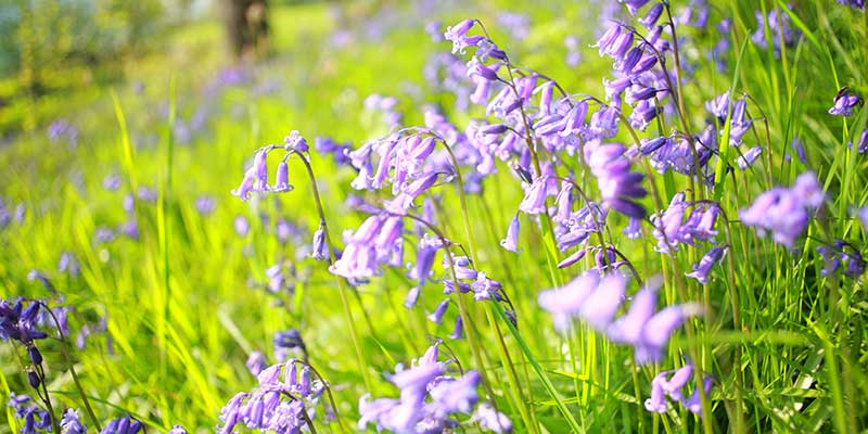 Bluebell seed takes four years to produce flowers