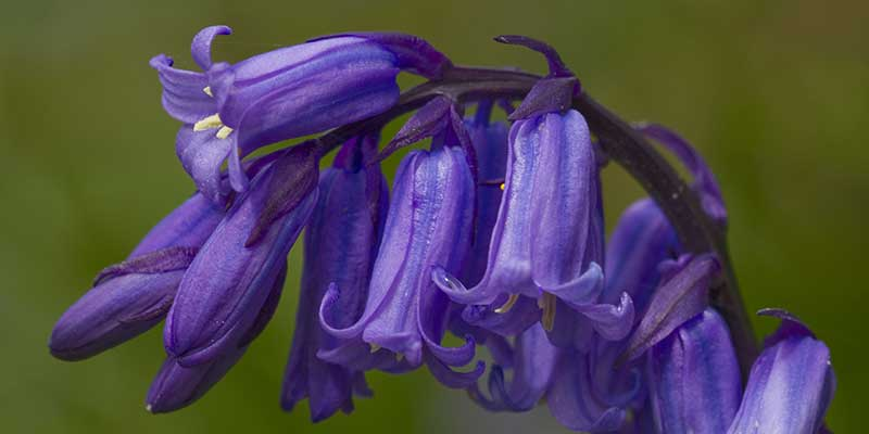 Wildwood Bluebell close-up